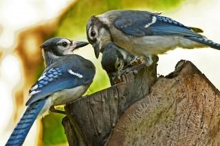 голубая сойка, птицы, размытость, макро, пенек, пень, Три
