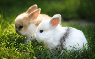 кролик, детеныш
