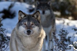 волк, природа, макро, морда