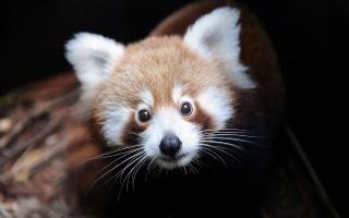 firefox, ailurus fulgens, red Panda