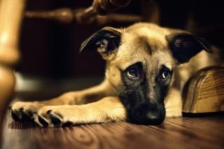 смотрит, настроение, дворняга, грусть-печалька, собака