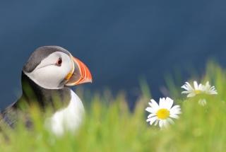 Fratercula Арктика, Атлантичний глухий кут, птиця, Буревісник, птиця, погляд