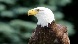 профіль, птиця, птиця, білоголовий Орлан, Білоголовий орлан, погляд