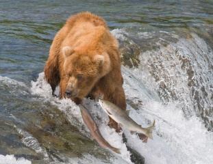 grizzly, salmon, river, bear, water, hunting, fishing, fish