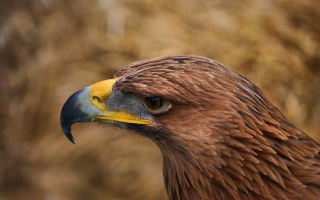 bird, feathers, view, eyes, eagle, the beak