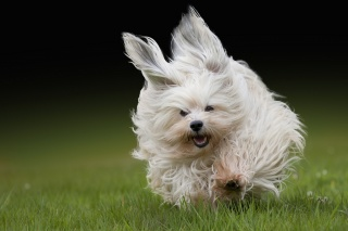 wool, grass, The Havanese, running