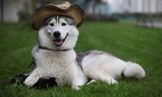 Laika, husky, hat, the camera, smile, lies, grass, lawn
