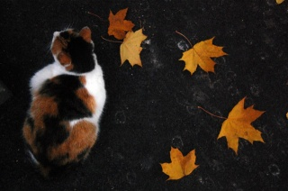 кіт, осінь, листя, Триколірний
