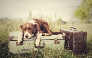 багаж, собака, трава, валізи