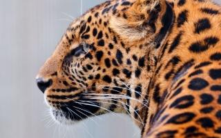 леопард, хижак, погляд, розмальовка