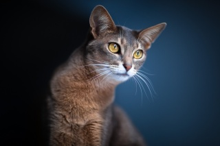 уши, кот, синий фон, глаза, размытость, кошка, взгляд