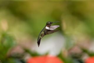 птица, размытость, полёт, колибри