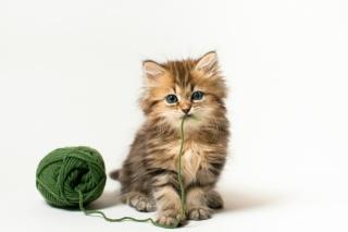 котенок, зеленые нитки, Дейзи, клубок, кошка, З. Бенджамин тород