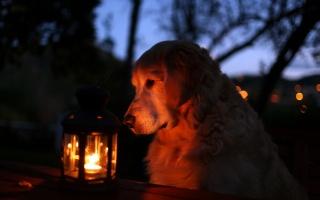 dog, night, lantern