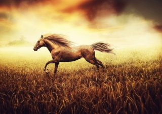 The freedom of the spirit, wheat, tail, drawing, field, background, horse