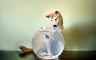pes, akvárium, rybka