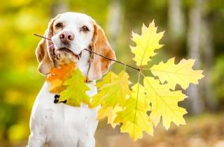 pes, španěl, větev dubu, listy, podzim, drží