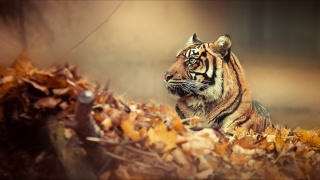 tiger, leaves, autumn
