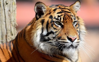 tiger, view