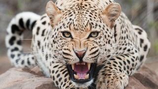 leopard, grin
