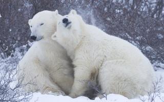 snow, bears, white