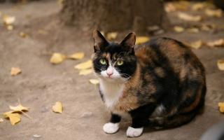 осень, сидит, кошка, рыжая, черная, смотрит