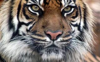 тигр, Бенгальский, хищник
