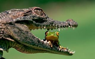 Crocodile, frog, friends