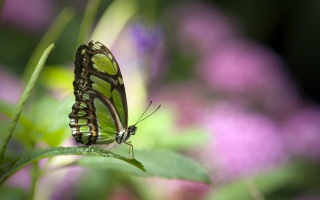 метелик, Зелена, красива