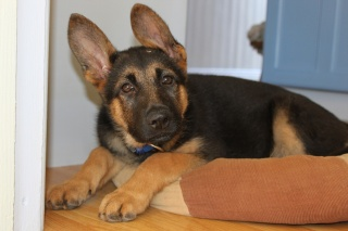 German shepherd, puppy, ears