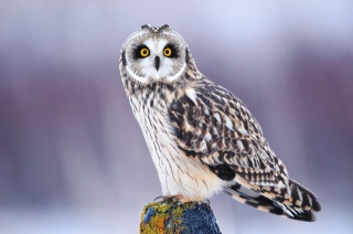 Owl, view, eyes, winter, bird