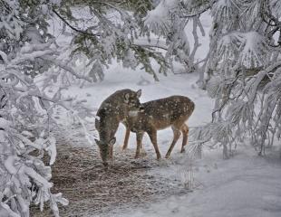 Олені, зима, сніг