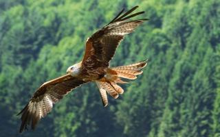 eagle, bird, flight
