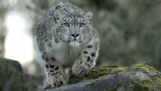 Leopard, nature, predator, on the rocks