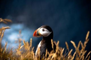 Puffin, Fratercula arctica, blur, The Atlantic puffin, bird