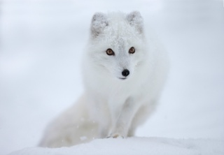 Fox, polar Fox, snow, view, muzzle