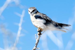 pták, sokol, příroda