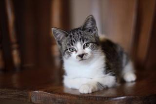 kotě, šedé oči, leží, pohled, kočka