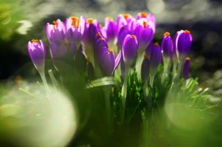 цветы, фиолетовые, первоцвет, трава, листья, крокусы