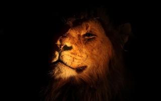 muzzle, MANE, lion, the owner