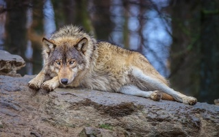 forest, nature, wolf