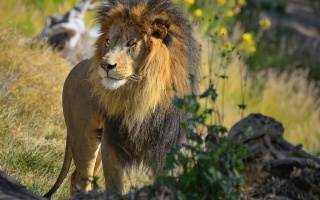 muzzle, lion, predator