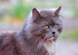 grey, cat