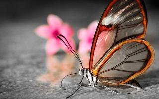 motýl, Čirá, květiny