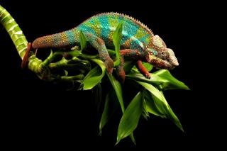ocas, větvička, chameleon, ještěrka, pozadí, oči, zeleň