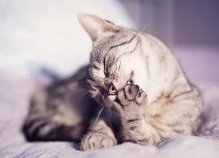 vousy, kočka, tlapky, Zvíře