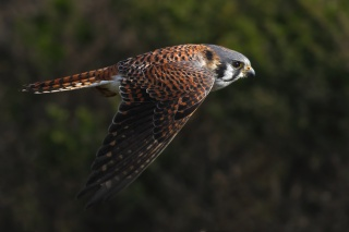 wings, the flap, flight, bird, Kestrel