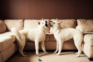 great Japanese dog, sofa, American Akita