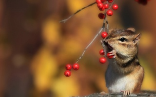 autumn, Squirrel, Rowan