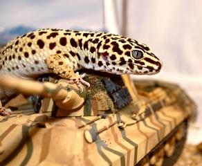oko, ještěrka, Tank, эублефар, gecko